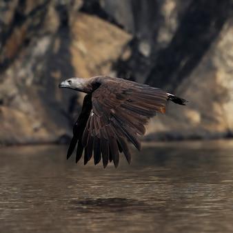 Aquila pescatrice testa grigia