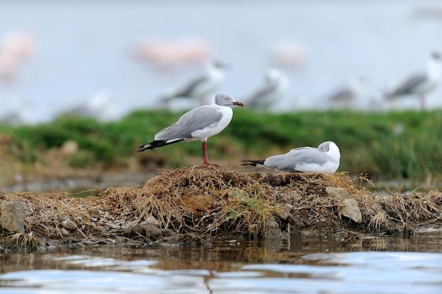 Gabbiani cenerini (larus cirrocephalus) in piedi sulla riva