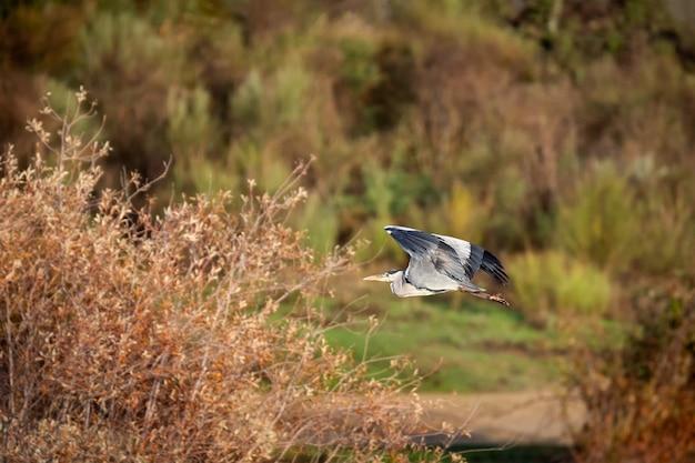Grey heron (ardea cinerea) fotografato in volo.