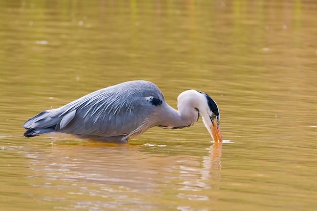 Airone cenerino pesca in un lago poco profondo con il suo becco nell'acqua
