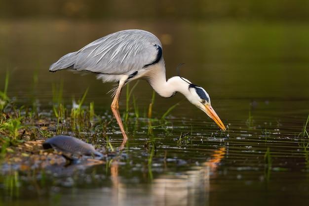 Airone cenerino che pesca in acqua nella natura estiva dal lato