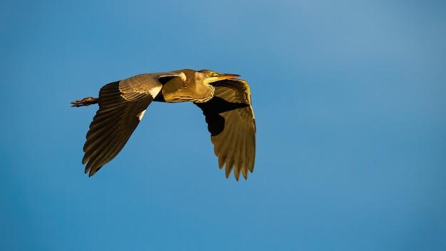 Airone cenerino che vola nel cielo blu durante l'estate.