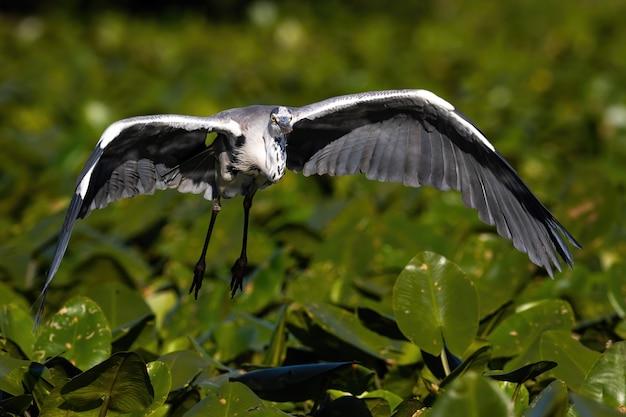 Airone cenerino che vola più vicino appena sopra le ninfee sull'acqua