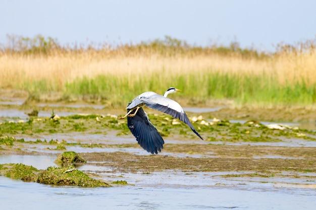 Airone cenerino nella laguna del fiume po