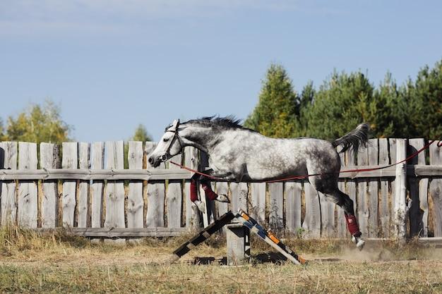 Il cavallo grigio salta sopra l'ostacolo