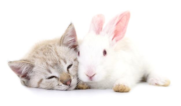 Gattino grigio che gioca con il coniglio bianco su sfondo bianco.