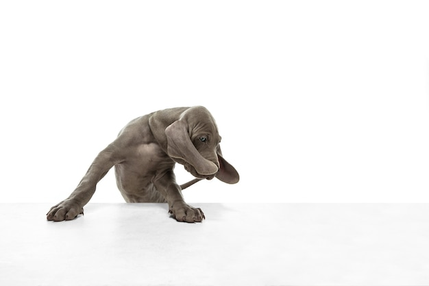 Il piccolo cucciolo di weimaraner grigio che gioca sullo studio bianco