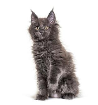 Gattino grigio maine coon seduto, isolato