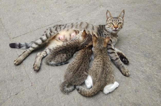 Mamma gatta grigia allatta i suoi cuccioli cuccioli