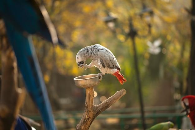 Il pappagallo grigio psittacus che tiene e che mangia una nocciola in zoo