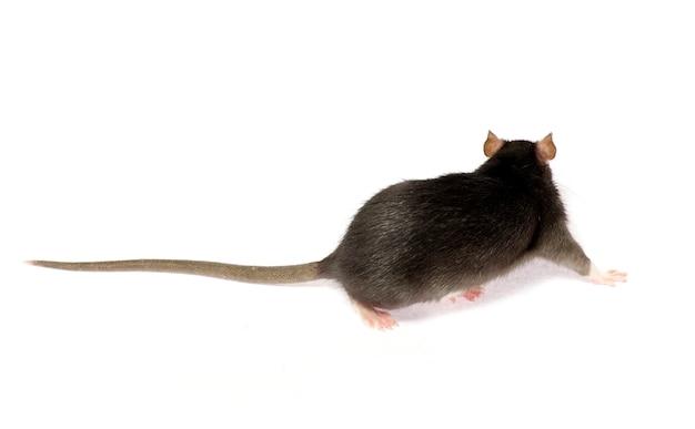 Ratto grigio isolato