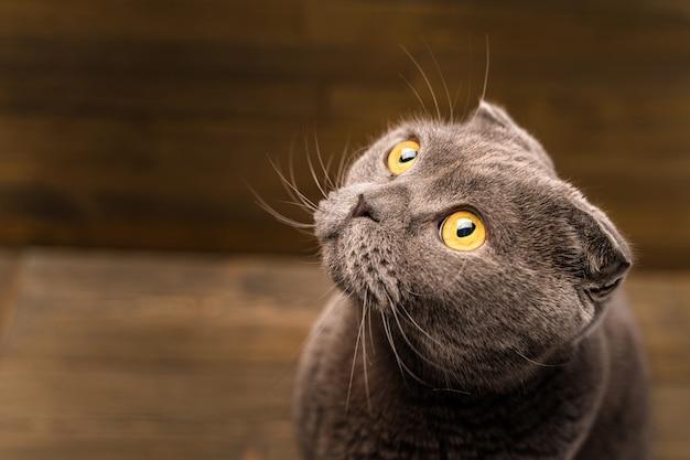 Gatto grigio scottish fold su fondo in legno