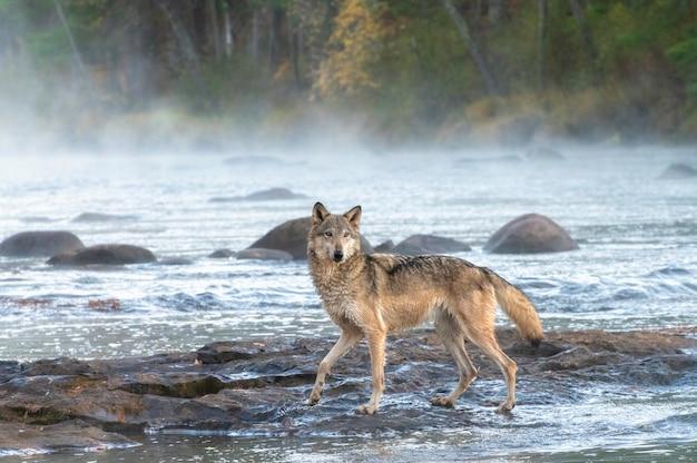 Lupo grigio che attraversa un fiume nebbioso all'alba