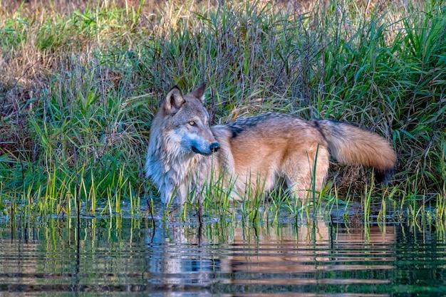 Lupo grigio in piedi in acqua con rippling riflessione