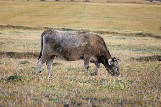 Una giovane mucca grigia che mangia l'erba nel prato.