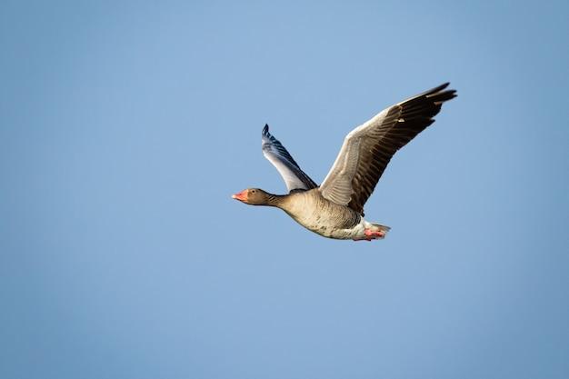 Volo dell'oca selvatica con le ali aperte contro cielo blu illuminato dal sole