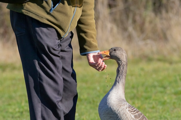 Oca selvatica in natura alimentata con cereali da un uomo