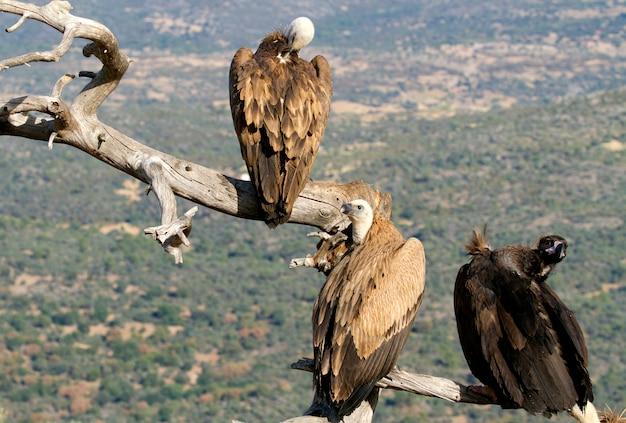 Grifone e avvoltoio nero allo stato brado