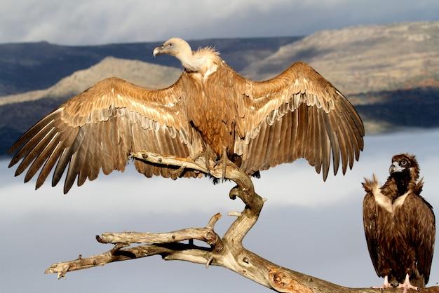 Grifone e avvoltoio nero