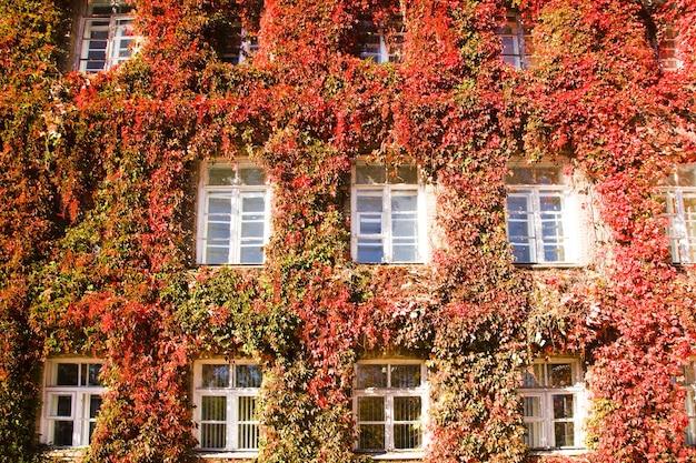 Edificio dell'università di grodno, ricoperto di edera rossa