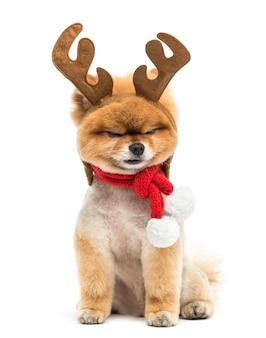 Cane di pomerania curato seduto e indossa una fascia di corna di renna e una sciarpa natalizia