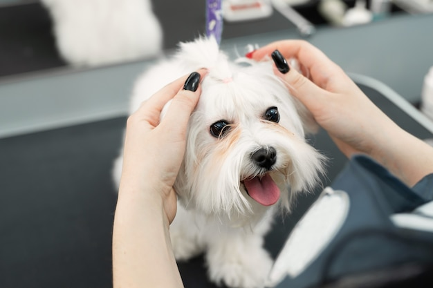 Un toelettatore taglia il pelo di un cane in una clinica veterinaria e lo fa sembrare una treccia sulla sua testa. bolonka bolognese.