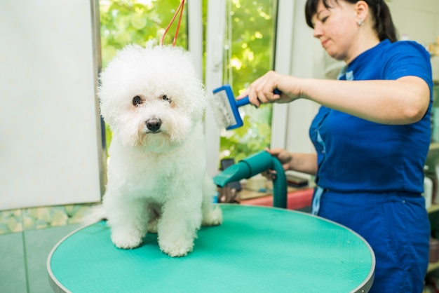 Il toelettatore asciuga e spazzola il cane. bichon frise. il toelettatore sta lavorando. acconciatura, styling