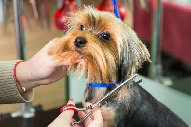 Groomer fa un taglio di capelli alla moda nel salone di toelettatura