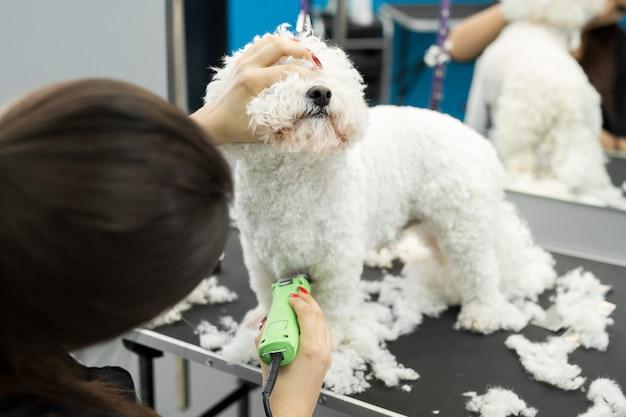 Groomer che taglia un piccolo cane bichon frise con un tagliacapelli elettrico.