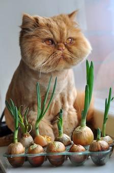 Toelettatura divertente gatto persiano rosso è seduto su un davanzale con cipolle verdi e guardando fuori dalla finestra