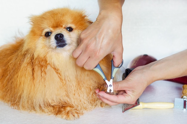 Toelettatura di un cane bagnato. maestro toelettatore che pettina, asciuga i capelli, taglia gli artigli di pomerania. parrucchiere per animali domestici. igiene professionale e assistenza sanitaria per animali in clinica veterinaria.