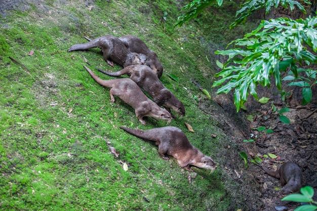 Gruppo di 6 lontre