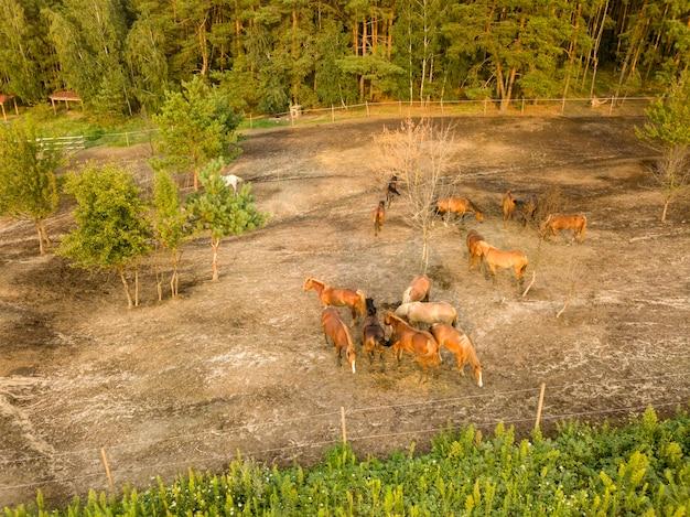 Gruppo di bellissimi cavalli marroni su una collina a piedi vicino alla foresta. vista aerea dal drone