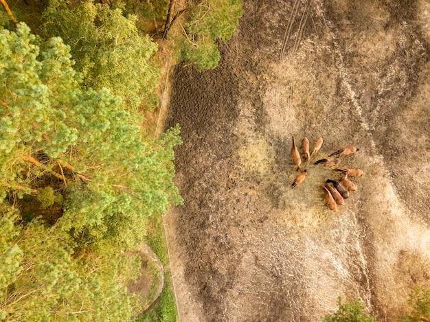 Gruppo di bei cavalli marroni su una passeggiata vicino alla foresta. vista aerea dal drone