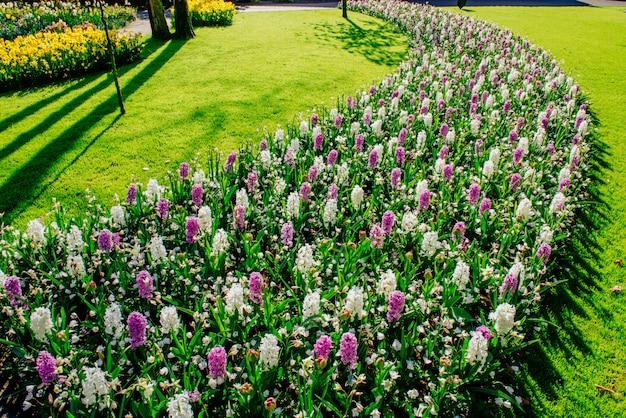 Gruppo di bellissimi giacinti multicolori. olanda. parco dei fiori di keukenhof