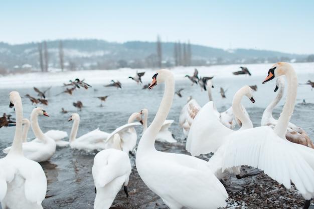 Gruppo di bellissimi cigni bianchi sulla riva del fiume nella giornata invernale.