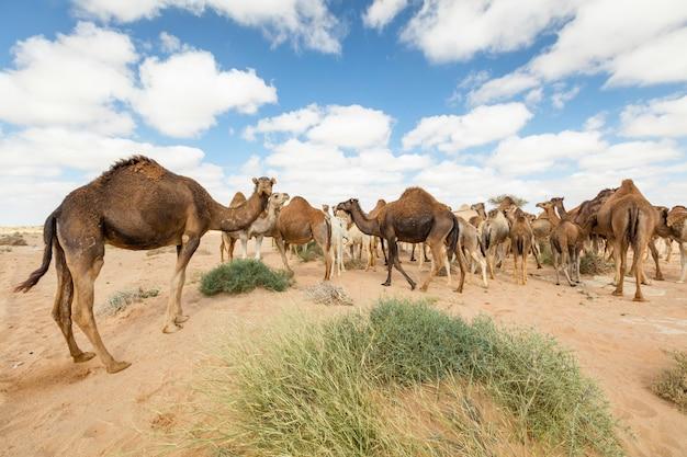 Gruppo di cammelli che mangiano erba in deserto, a layoun marocco