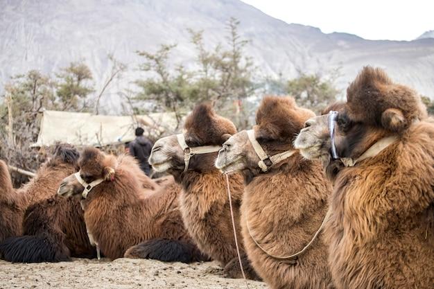 Gruppo di cammelli nella valle della nubra sulle dune di sabbia di hunder, regione dello jammu e kashmir nella regione del ladakh