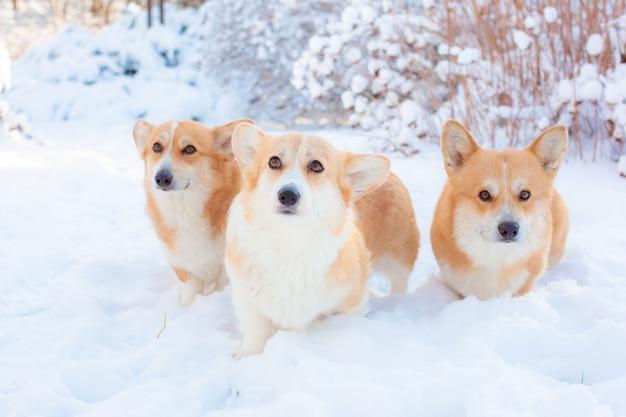 Gruppo di cani corgi su una passeggiata nel parco invernale