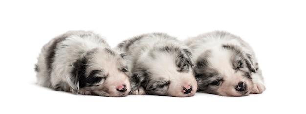 Gruppo di cuccioli di incrocio che dormono in una riga isolata su bianco