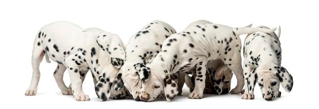 Gruppo di cuccioli dalmata che mangiano davanti a un muro bianco