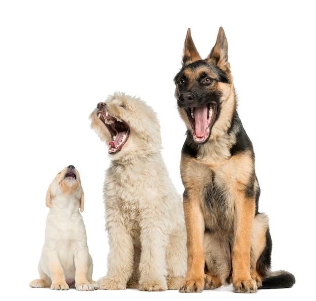 Gruppo di cani che sbadiglia isolato su bianco