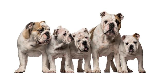 Gruppo di bulldog inglesi