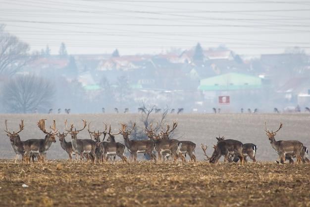 Gruppo di daini in piedi sul prato vicino al villaggio