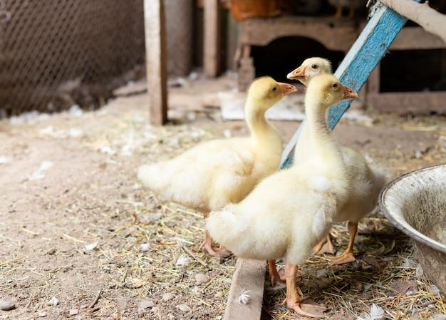 Gruppo di anatroccoli divertenti in un'azienda agricola biologica.