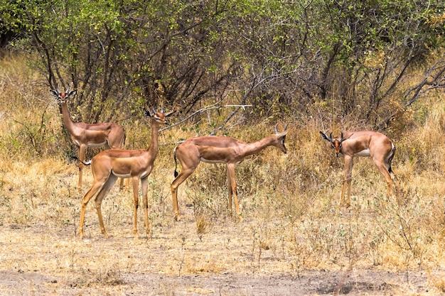 Un gruppo di giraffe gazzelle nei boschetti di meru kenya africa