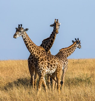 Gruppo di giraffe nella savana