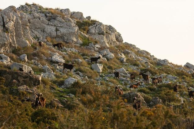 Gruppo di capre che mangiano e riposano su una collina di montagna all'alba di mattina in cantabria