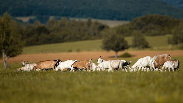 Gruppo di capre al pascolo nella soleggiata natura estiva con sfondo sfocato.