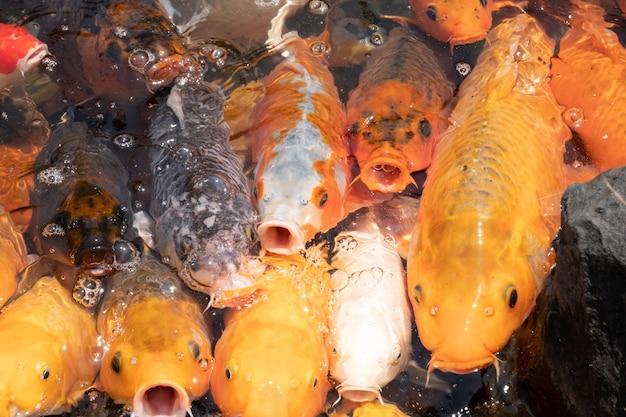 Il gruppo di pesci dorati a bocca aperta aspetta di nutrirsi nello stagno
